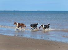 Honden die het overzees verlaten Royalty-vrije Stock Foto's