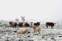 Honden die het vee bewaken tijdens een sneeuwonweer stock afbeeldingen