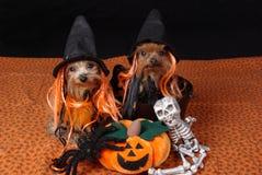 Honden die kostuums dragen Royalty-vrije Stock Fotografie