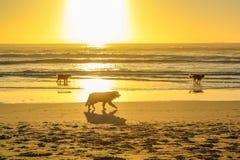 Honden die op de kust lopen Stock Foto