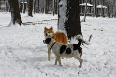 Honden die op de sneeuw genieten van Stock Afbeeldingen