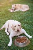 Honden die op groen gras eten Stock Afbeeldingen