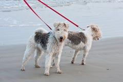 Honden die op het Strand lopen Stock Foto