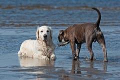 Honden die op het strand samenkomen royalty-vrije stock fotografie