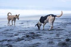 Honden die op het strand in Varkala spelen Stock Afbeelding