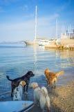 Honden die op Ochtend Egeïsch Overzees Strand spelen Stock Fotografie