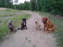 Honden die op sleep zitten Royalty-vrije Stock Foto