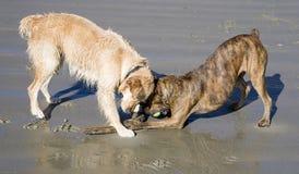 Honden die op strand spelen Stock Afbeeldingen