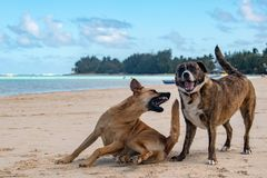 Honden die op tropisch Polynesisch strand vechten Royalty-vrije Stock Fotografie