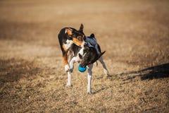 Honden die over bal vechten Stock Foto