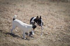 Honden die over stok vechten stock fotografie