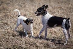 Honden die over stok vechten royalty-vrije stock fotografie
