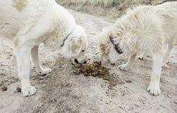 Honden die samen eten Stock Afbeelding