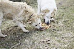 Honden die samen eten Stock Fotografie