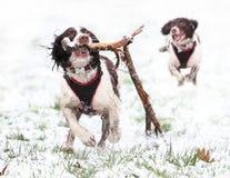 Honden die in sneeuw spelen Stock Afbeeldingen