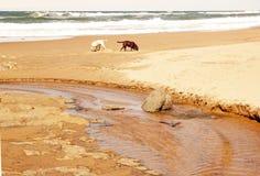 Honden die Strand onderzoeken Stock Afbeeldingen