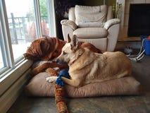 Honden die uit venster kijken Royalty-vrije Stock Foto's