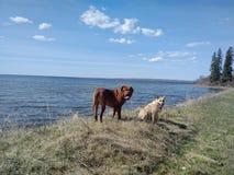 Honden die zich op kust bevinden Stock Fotografie