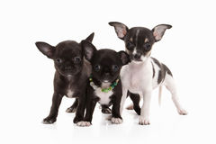 honden Drie Chihuahua-puppy op wit royalty-vrije stock foto