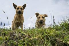 Honden en grappig Stock Foto