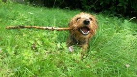 Honden en stokken stock afbeeldingen