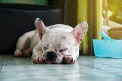 Honden Franse Buldoggen /Focus-selectie Stock Foto's