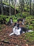 3 honden in het bos stock foto