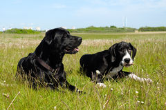 Honden in het gras Royalty-vrije Stock Foto's