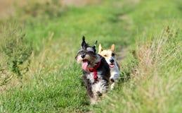 Honden het lopen Stock Afbeelding