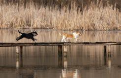 Honden het lopen Stock Foto's
