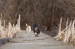 Honden het lopen Royalty-vrije Stock Afbeeldingen