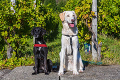 Honden het zitten Royalty-vrije Stock Fotografie