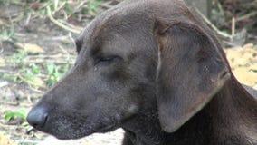 Honden, Hoektanden, Huisdieren, Dieren stock footage
