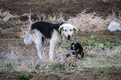 Honden, honden, honden, de beelden van portrethonden, honden in verschillende rassen, het liggen honden, het spelen honden, slaap Stock Fotografie