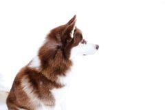 honden huskie zwart rood Stock Afbeeldingen