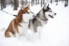 honden huskie zwart rood Royalty-vrije Stock Foto