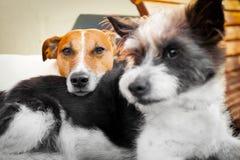 Honden in liefde stock afbeeldingen