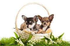 Honden in mand op de witte lente wordt geïsoleerd die als achtergrond Stock Afbeeldingen