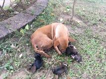 Honden met kleine puppy stock foto