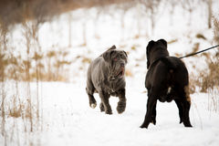Honden Napolitaanse mastiff Royalty-vrije Stock Afbeeldingen