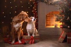 Honden Nova Scotia Duck Tolling Retriever en Jack Russell Terrier Christmas, nieuw jaar, vakantie en viering Royalty-vrije Stock Afbeeldingen