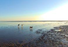 Honden op dageraadstrand Royalty-vrije Stock Foto's