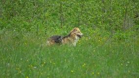 Honden op de groene weide stock videobeelden