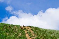Honden op de heuvel Stock Fotografie