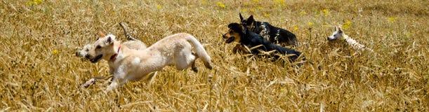 Honden op het gebied Stock Foto's