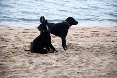 Honden op het strand Stock Foto