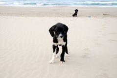 Honden op het strand Stock Foto's