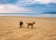 Honden op het strand bij zonsondergang Stock Afbeelding