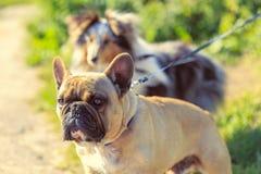 Honden op leibanden om warme de zomerdag te lopen Stock Foto's