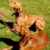 Honden op lood royalty-vrije stock afbeelding